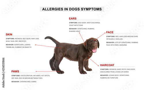 Cute dog and list of allergies symptoms on white background Canvas Print