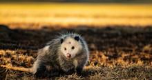 Evening Opossum