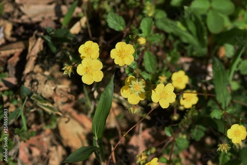 Fotografering Potentilla anemonifolia flowers
