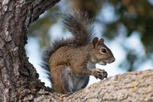 Eastern Gray Squirrel Framed I...