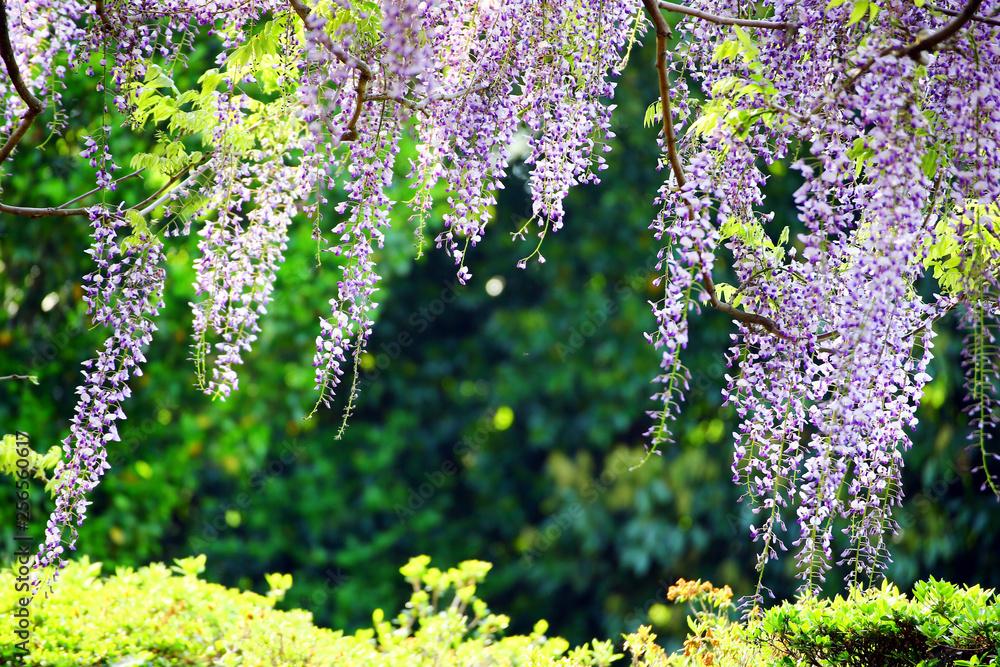 Fototapety, obrazy: 藤の花