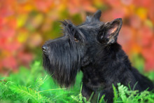 Scottish Terrier Portrait In Fall Landscape