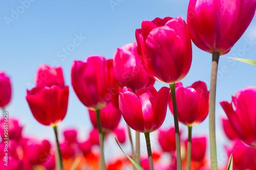 Photo  pink tulips on blue sky background