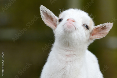 Fotomural head from white goat kid