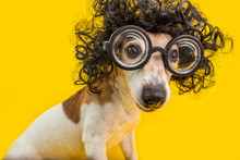 Curious Nerd Smart Dog Face In Round Professor Glasses And Curly Black Afro Style Hairstyle. Education. Yellow Background