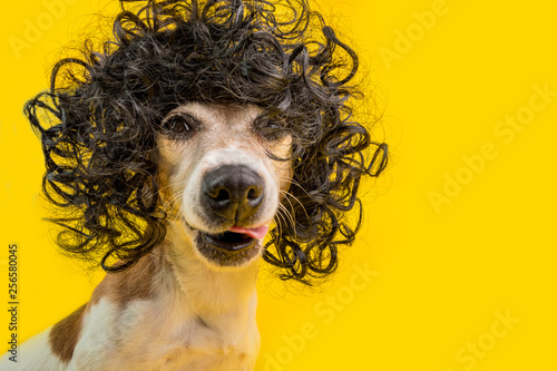 Fotografía  Amazing funny dog portrait in frizzle black hairstyle wig