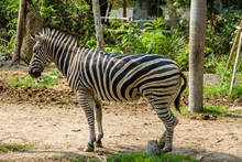 Zebra Standing Under The Shade Of A Tree To Evade Hot Weather