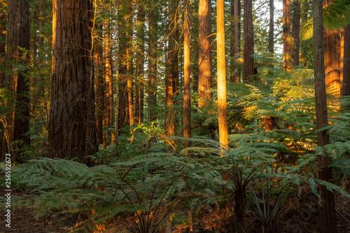 Garden Poster Forest Redwoods Forest, Rotorua