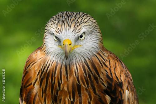 Valokuva  Red Kite (milvus milvus) close up portrait