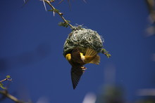 Southern Masked Weaver Nest Building