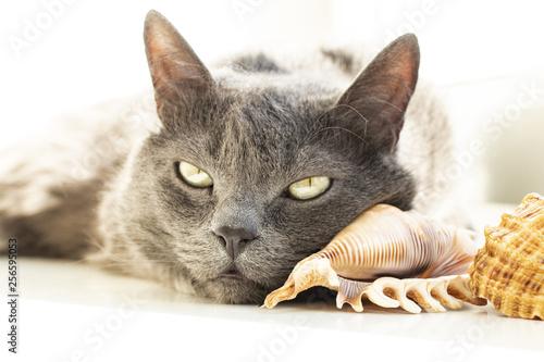 szary kot domowy leży obok muszli w jasnym słońcu