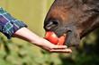 canvas print picture - Pferd frisst Apfel