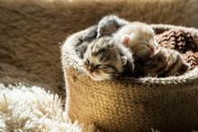 Little Cute Kittens Of British...