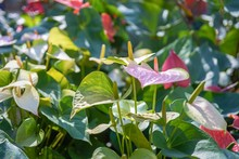 Pink Anthurium, Tailflower, Flamingo Flower Or Laceleaf In Sunlight