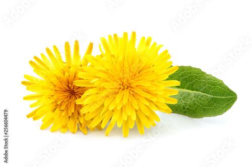 Foto auf Leinwand Lowenzahn Dandelion officinale flower isolated.