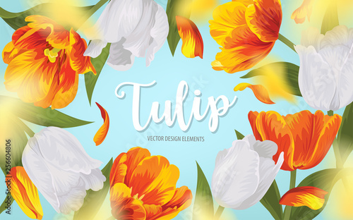 Fotografie, Obraz  Blooming beautiful yellow with white tulip flowers background template
