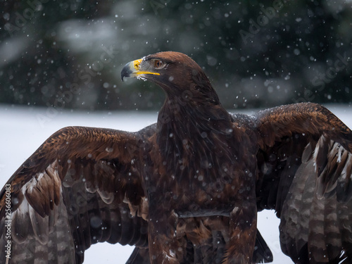 Golden eagle (Aquila chrysaetos) in the forest during snowfall rips pieces of meat from frozen racoon carcass Canvas Print