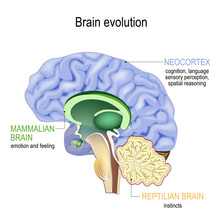 Brain Evolution. Triune Brain: Reptilian Complex, Mammalian Brain And Neocortex