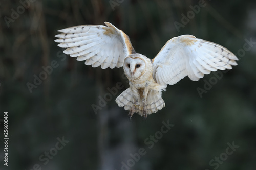 Spoed Fotobehang Uil Barn owl flying
