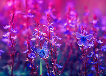 Two Beautiful Little Golubyanka Icarus Butterflies Sit On A Blooming Meadow On Lilac And Pink Flowers On A Sunny Bright Day