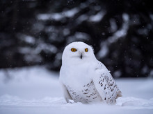 Snowy Owl (Bubo Scandiacus) On Snowy Ground. Snowy Owl Portrait. Snowy Owl Closeup Photo.