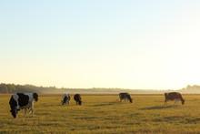 Herd Of Cows Grazing In A Fiel...