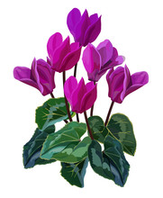 Cyclamen Flower Vector Illustr...