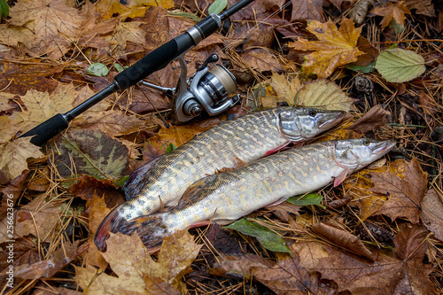 Fotografie, Obraz  Freshwater pike and fishing equipment lies on yellow leaves..