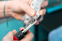 Veterinary Cutting The Nails Of A Greyhound In A Clinic