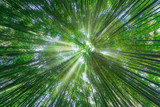 Fototapeta  - nature background of bamboo forest with sun rays