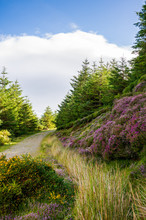 Hiking Path Through Lush Purple Heather,yellow Gorse And Fir Trees On A Warm Sunny Summer Day. Wicklow Mountains Way Scenic Trail In Ireland, Bordered By Beautiful Wildflowers.