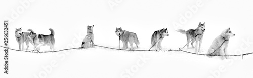 Northern Huskies sled. Husky dogs in the snow in a team. Wallpaper Mural