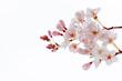 花物語(桜)背景白