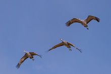 Flight Of Sandhill Cranes Against A Clear Blue SKy