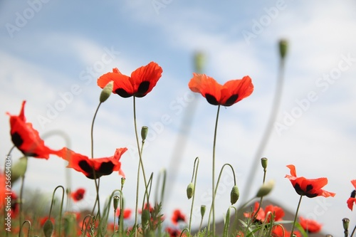 Canvas Prints Poppy Field of poppies against the setting sun.turkey