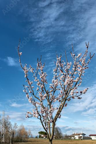 Fotografia  Albero di cigliegio in fiore, su sfondo di campagna con cielo azzurro