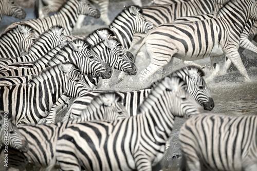Aluminium Prints Zebra Zebras running in water