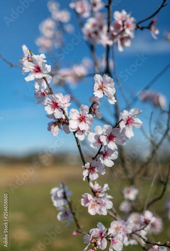 Fiori di ciliegio appena sbocciati su uno sfondo campestre e bucolico di natura, Slika na platnu