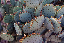 Prickly Pear Cactus Plant In Arizona Desert Garden
