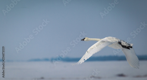 Trumpeter swan photographed just yards off the ground. Canvas Print
