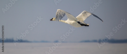 Photo Trumpeter swan flying at eye-level, bill open and calling