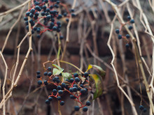Maiden Grapes Among Bizarre Br...
