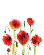 Poppies watercolor floral background