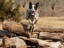 Texas Heeler Dog Leaping Over ...