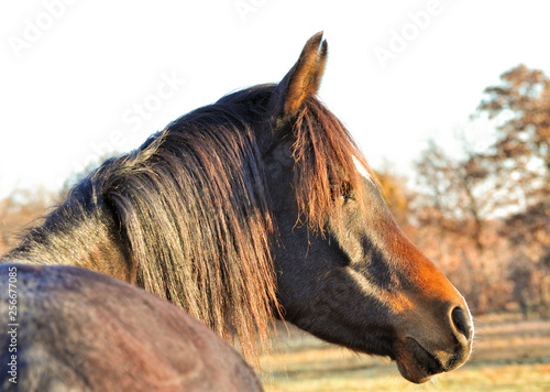 Pinturas sobre lienzo  Profile of a dark bay Arabian horse looking to the right, lit by early morning s
