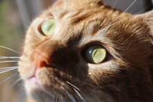 Closeup Of A Ginger Cat's Face, With Sun Casting Dramatic Light From A Window Next To Him