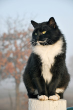 Tuxedo Cat Sitting On Top Of A Fence Post, Surveying His World, With A Foggy Early Morning Background