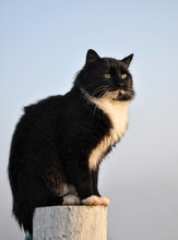 Handsome Tuxedo Cat Sitting On Top Of A White Fence Post With A Foggy Morning Background
