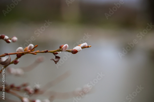 Fototapety, obrazy: pendula tree, goat willow grows in the Park in spring