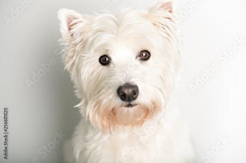 Fototapeta A West highland white terrier Dog Isolated on White Background in studio obraz